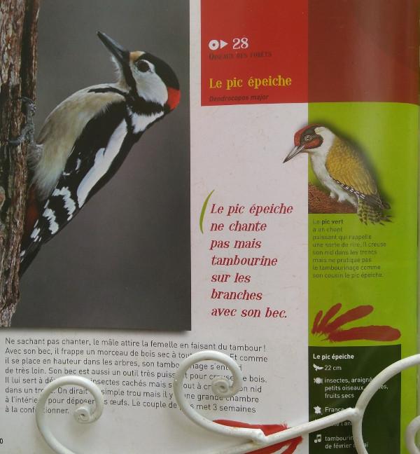 L'image présente le pic épeiche. Un oiseau qui ne chante pas. Il tambourine sur une branche morte pour attirer les femelles. Il est de couleurs rouge, blanche et noire.